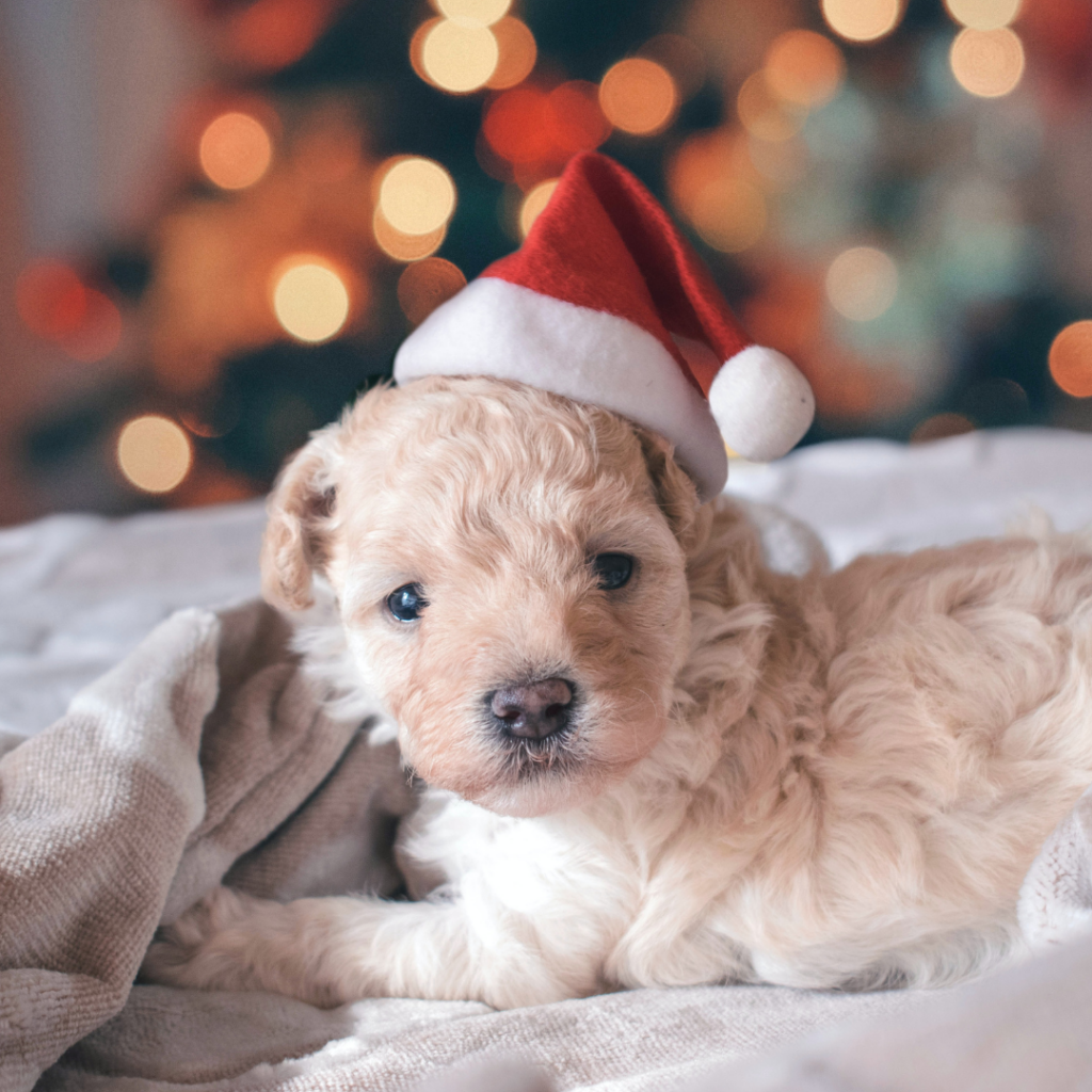 There's a lot to consider when bringing a new puppy or kitten home for Christmas.