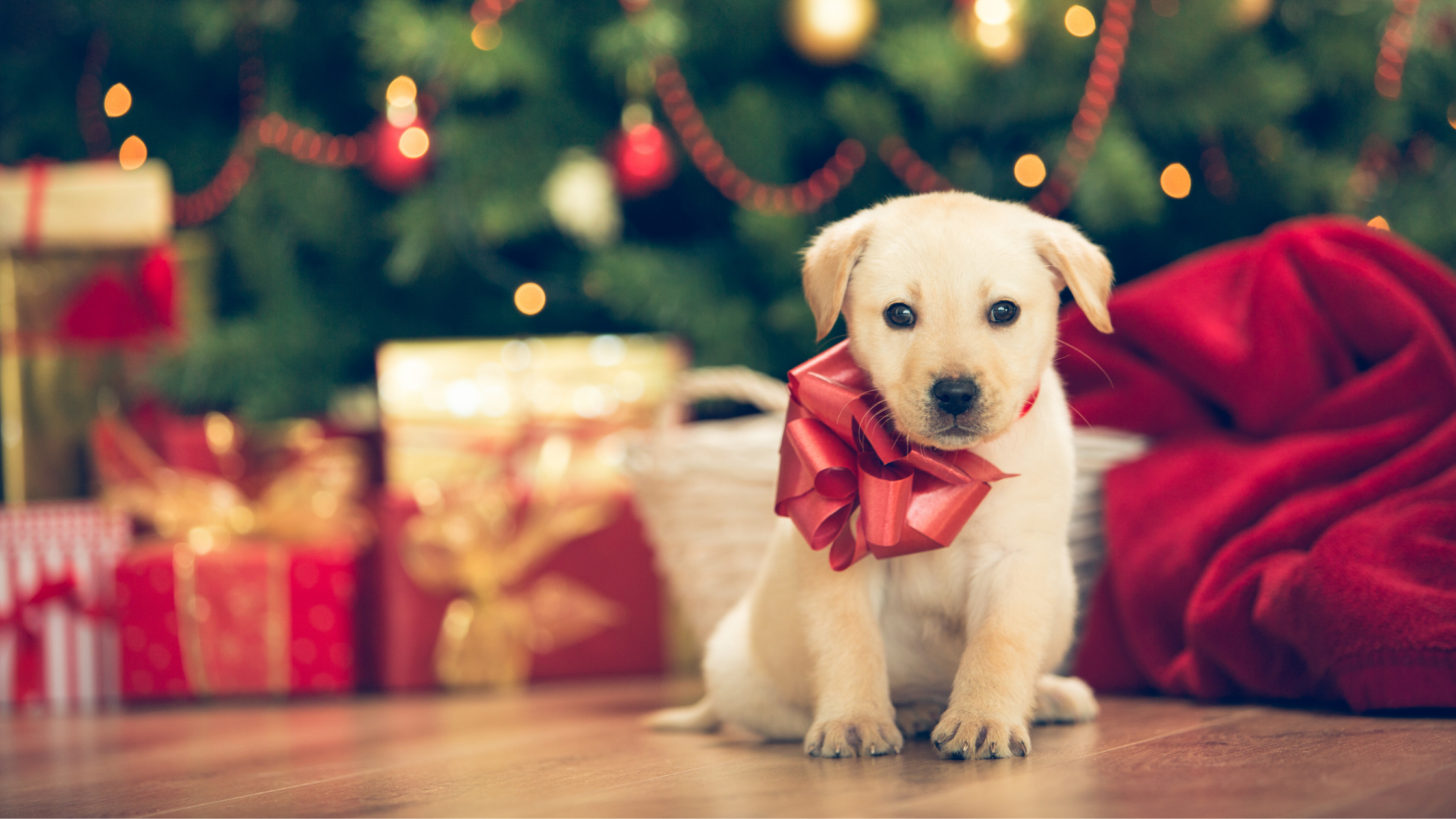 Things to consider before putting a new puppy under the Christmas tree