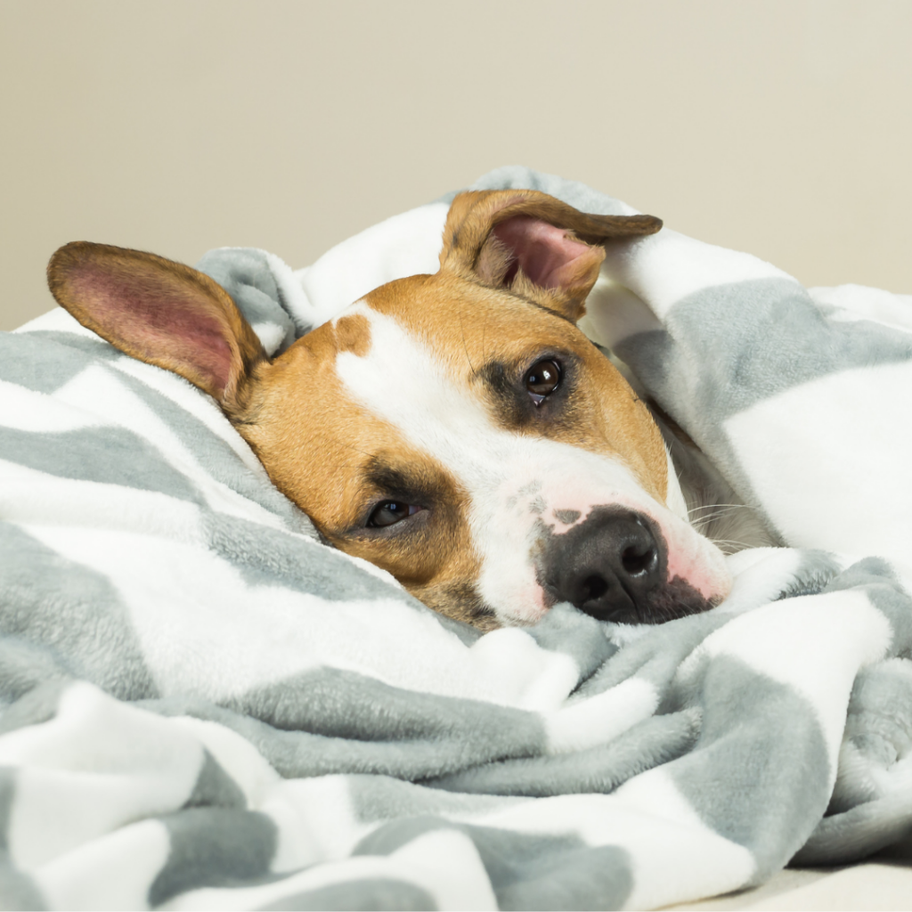 canine influenza is a contagious respiratory disease in dogs