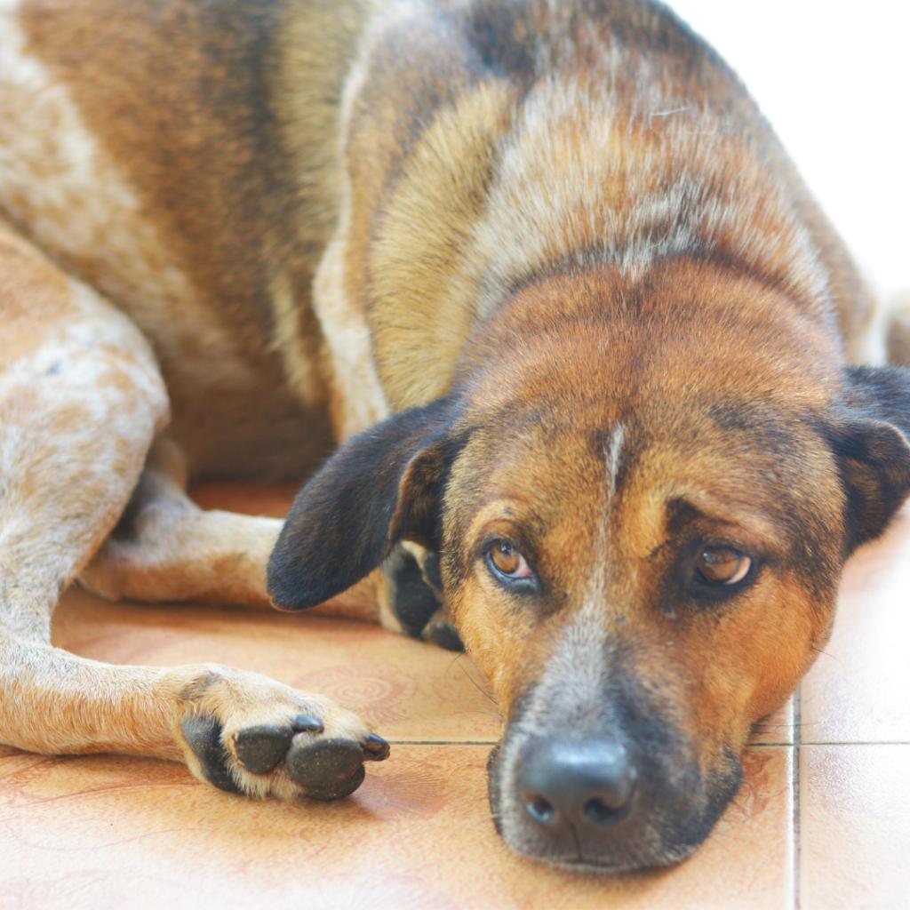 Symptoms of Lyme Disease in dogs
