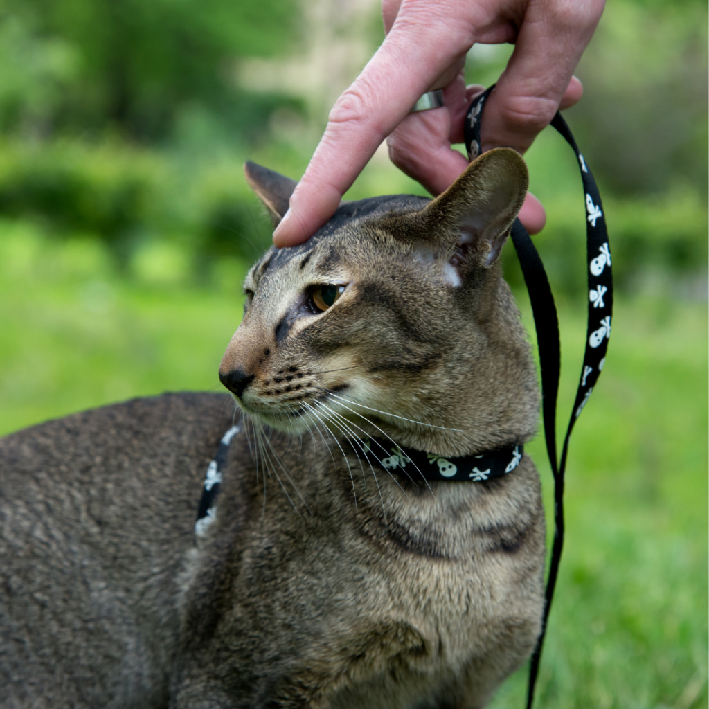 introduce your cat to their leash slowly